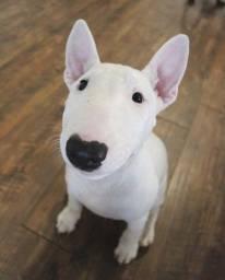 Título do anúncio: Filhotes de Bull Terrier machos e fêmeas disponível.