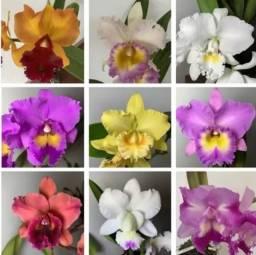 Título do anúncio: 100 sementes de Orquídeas Catleia e 100 Bonsai-Grátis