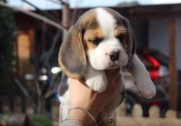Título do anúncio: Amor de Beagle Filhote com Pedigree e Microchip