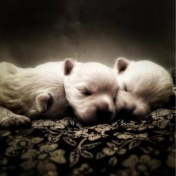 Filhote Westie Terrier (último)