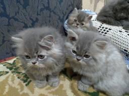 Título do anúncio: Filhotes de persa cinza