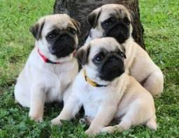 Título do anúncio: Disponíveis Filhotes de Pug Abricolor