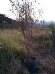Título do anúncio: mudas de arvores frutas nativas plantas pouso alto ver entrega