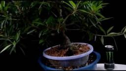 Título do anúncio: Ficus nerifolia