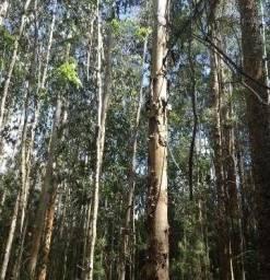 Eucalipto 2 hectare