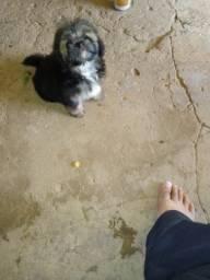 Vendo filhote de maltês com dois meses