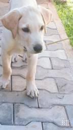 Labrador caramelo macho