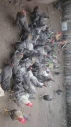 Lote de galinhas caipira
