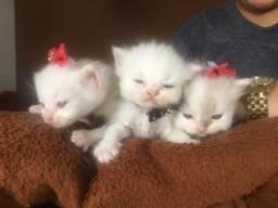 Filhotes de Gatos Persas