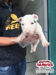 Bull Terrier Inglês DownFace a vacinados e com pedigree