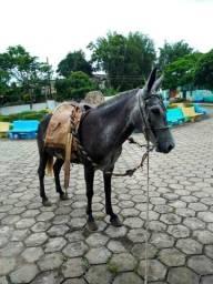 Mula do meio marchadeira cavalo egua