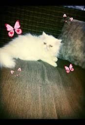 Linda fêmea filhote persa