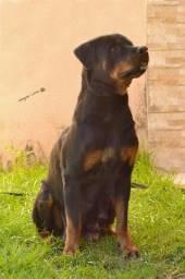 Filhotes de Rottweiler disponível