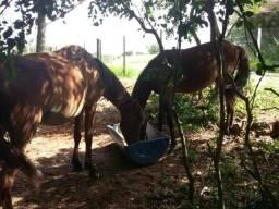 Cavalos (mãe e filho)
