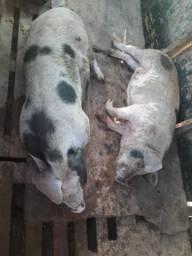 Porcos Piau