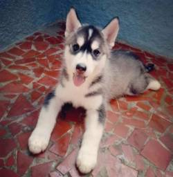 Husky siberiano último filhote