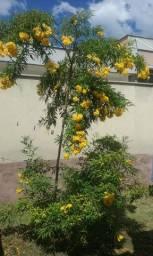 Muda de Ipê Mirim Amarelo em Lagoa Santa-MG