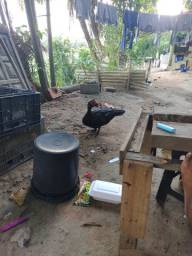 Vendo um pato duas galinhas e um frango