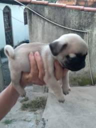 Filhote de Pug lindo miniatura!!!