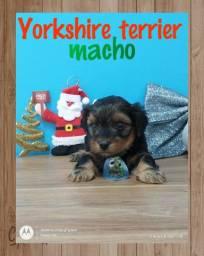 Fofichos bebês de yorkshire terrier