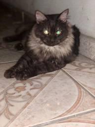 Título do anúncio: Gato angora para cruzamento
