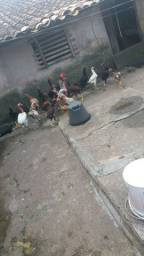 Título do anúncio: Vendo 19 galinha por R$500
