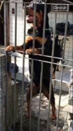 Rottweiler filhote com pedigree