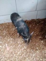 Título do anúncio: Mini porco legítimo 65x30 A .