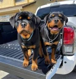 Título do anúncio: Rottweiler com garantia