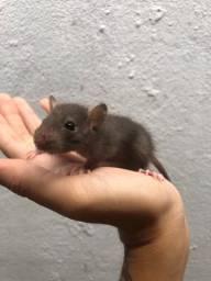 Ratinhos de laboratório twister
