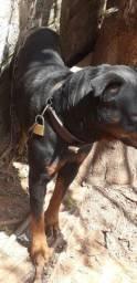 Rottweiler Macho disponível para cruza