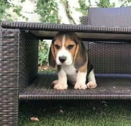 Título do anúncio: Beagle Filhote 13 Polegadas com Pedigree e Microchip