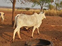 Título do anúncio: Vaca