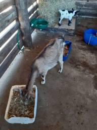 Mini Cabra filhote