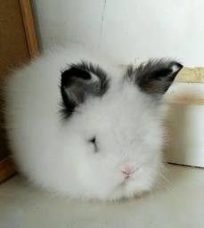 Título do anúncio: Vendo mini coelho (fêmea)