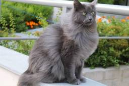 Procuro gato de cor cinza para comprar
