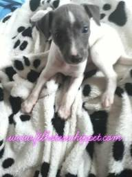 Reserve lindos filhotes whippet