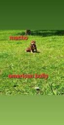 Filhote de cachorro de raca American bully