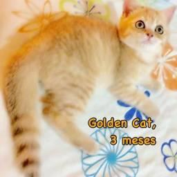 GoldenCat: mais dócil que o Persa