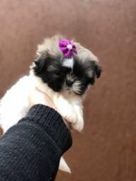 Título do anúncio: Confira Shihtzu baby mini fêmea em ate 12x sem juros