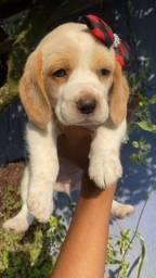 Título do anúncio: Macho e Fêmea Beagle Filhote 13 Polegadas com Pedigree Vacina Recibo