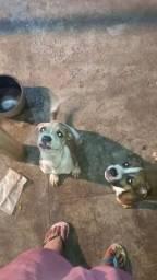 Título do anúncio: Vende se filhotes de pitbull