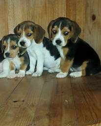 Título do anúncio: Filhotes de Beagle 13 POLEGADAS, OS MENORES QUE EXISTE