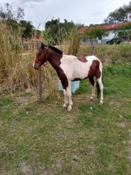 Título do anúncio: Vendo Cavalo pampa