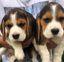 Título do anúncio: Macho e Fêmea Beagle Filhote 13 Polegadas com Pedigree e Microchip
