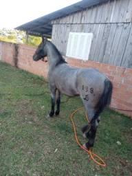 Vendo cavalo criolo