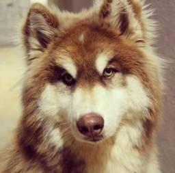 Compro Husky Siberiano