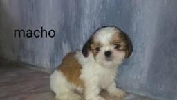 Vendo Shih Tzu mini macho