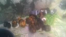 Filhotes de porquinho