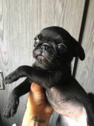 Vendo pug fêmea mini preta